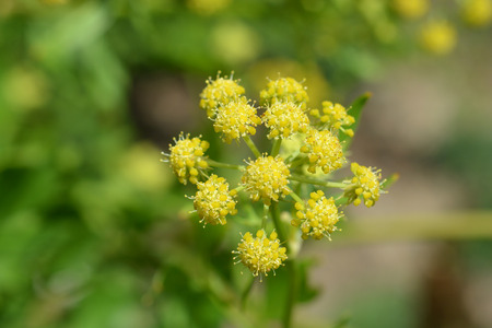 Lovage yellow flower close up - Latin name - Levisticum officinale Zdjęcie Seryjne