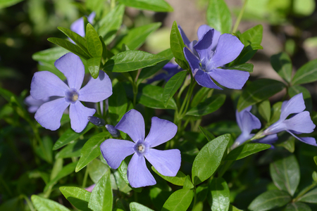 Common periwinkle flowers - Latin name - Vinca minor Фото со стока