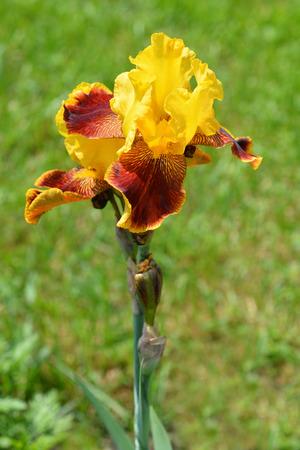 Tall bearded Whoop em up iris flower - Latin name - Iris barbata elatior Whoop em up