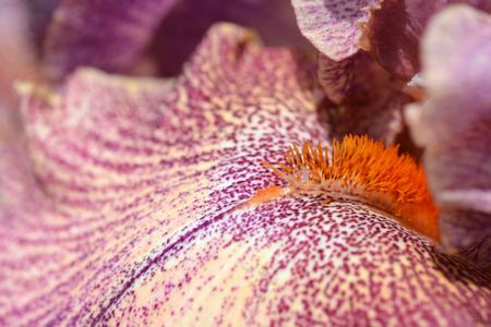 Close up of Tall bearded Queen in Calico iris flower - Latin name - Iris barbata elatior Queen in Calico