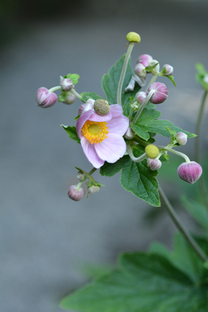 Japanese anemone flowers and buds - Latin name - Anemone hupehensis var. japonica Stock Photo