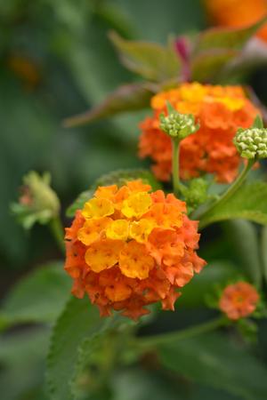 Shrub verbena orange flower close up - Latin name - Lantana camara