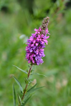 Purple loosestrife - Latin name - Lythrum salicaria