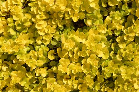 Golden creeping jenny - Latin name - Lysimachia nummularia Aurea