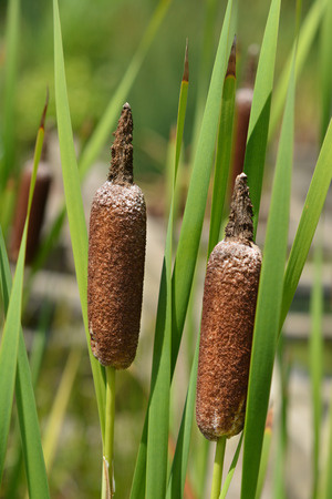 Cattail leaves and flowers - Latin name - Typha shuttleworthii Stock Photo