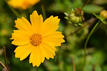 Star tickseed yellow flower - Latin name - Coreopsis pubescens Stock Photo