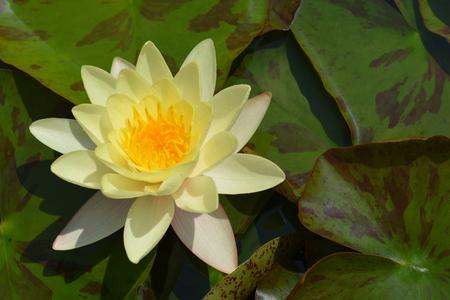 Yellow water lily flower - Latin name - Nymphaea x marliacea Chromatella