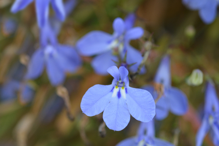 Garden lobelia blue flowers - Latin name - Lobelia erinus Stock Photo