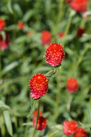 Red globe amaranth - Latin name - Gomphrena globosa Rubra