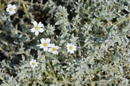 Boreal chickweed - Latin name - Cerastium biebersteinii