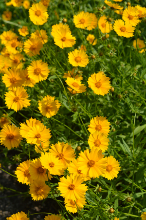 Star tickseed flowers - Latin name - Coreopsis pubescens