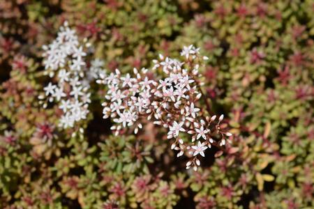 Murale Stonecrop flowers - Latin name - Sedum album Murale