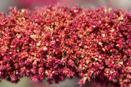 Purple Amaranth Velvet Curtains flower close up - Latin name - Amaranthus cruentus Velvet Curtains