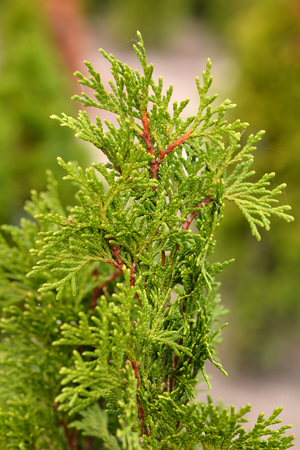 White cedar Smaragd - Latin name - Thuja occidentalis Smaragd 免版税图像