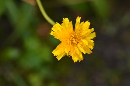 Bulbous dandelion - Latin name - Leontodon tuberosus Imagens