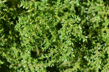 Rockweed leaves - Latin name - Pilea microphylla