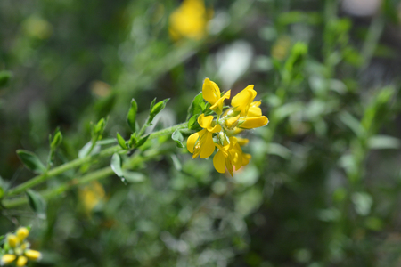 Spanish Gorse yellow flower - Latin name - Genista hispanica subsp. occidentalis Stock Photo