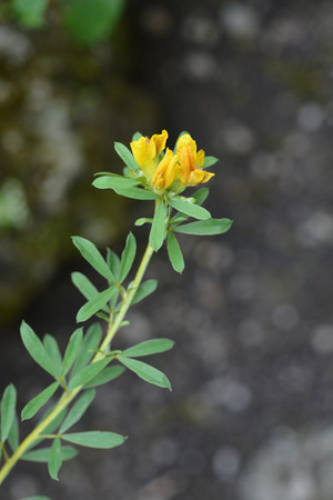 Austrian clustered broom - Latin name - Cytisus austriacus (Chamaecytisus austriacus) 免版税图像