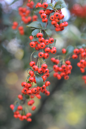 Narrowleaf firethorn - Latin name - Pyracantha angustifolia