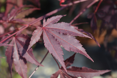 Purple Japanese maple - Latin name - Acer palmatum Atropurpureum Stock fotó