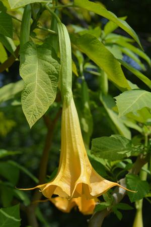 Angels trumpet - Latin name - Brugmansia suaveolens