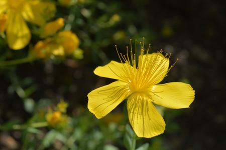 Mount Olympus St Johns-wort - Latin name - Hypericum olympicum