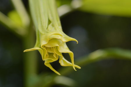 Angels trumpet flower bud close up - Latin name - Brugmansia suaveolens