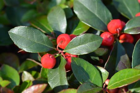 American wintergreen red berries - Latin name - Gaultheria procumbens