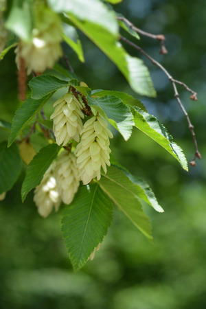 European hop hornbeam - Latin name - Ostrya carpinifolia Stock Photo