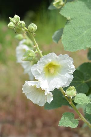 Hollyhock Halo White - Latin name - Alcea rosea Halo White 免版税图像