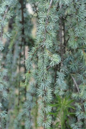 Weeping atlas cedar - Latin name - Cedrus atlantica Glauca Pendula