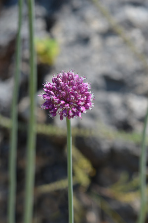 Wild leek - Latin name - Allium ampeloprasum Stock Photo