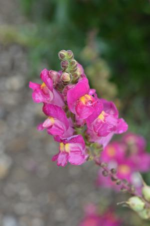 Snapdragon Flame dark pink flowers - Latin name - Antirrhinum majus Flame