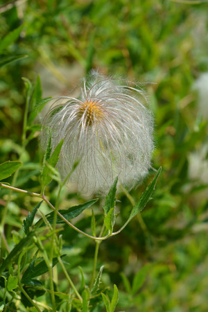 Golden Clematis feathery tufted seed head - Latin name - Clematis tangutica