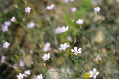 Saxifrage pink - Latin name - Petrorhagia saxifraga