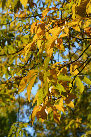 Yellow buckeye leaves - Latin name - Aesculus flava (Aesculus octandra) Stock Photo