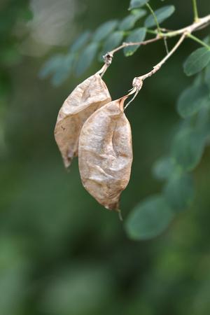 Common bladder senna seeds - Latin name - Colutea arborescens
