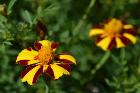 French marigold Mr. Majestic - Latin name - Tagetes patula nana Mr. Majestic 免版税图像