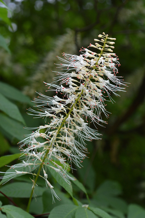 Bottlebrush buckeye - Latin name - Aesculus parviflora