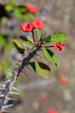 Christs thorn - Latin name - Euphorbia milii var. milii
