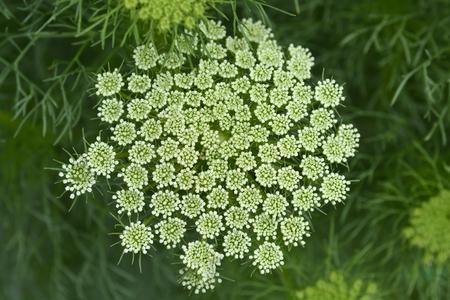 Toothpick bullwort Blutenball - Latin name - Ammi visnaga Blutenball Reklamní fotografie