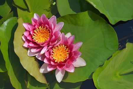 Pink water lily Rene Gerard - Latin name - Nymphaea Rene Gerard