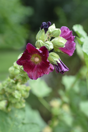 Common hollyhock - Latin name - Alcea rosea