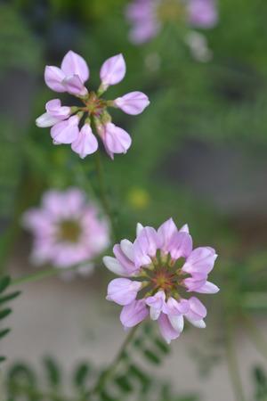Purple crown vetch - Latin name - Securigera varia (Coronilla varia) Foto de archivo