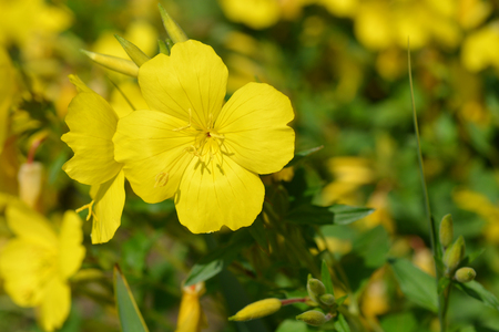 Narrowleaf evening primrose - Latin name - Oenothera fruticosa Stock fotó