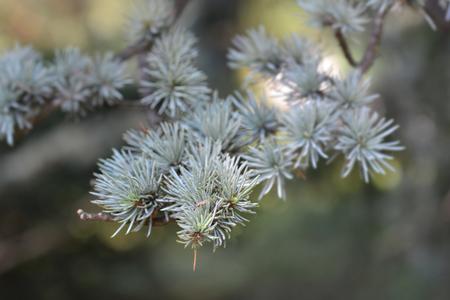 Blue atlas cedar - Latin name - Cedrus atlantica Glauca Stock Photo
