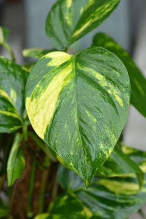 Devils ivy - Latin name - Epipremnum pinnatum Aureum (Epipremnum aureum)