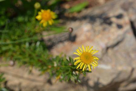 Golden samphire - Latin name - Limbarda crithmoides (Inula crithmoides)