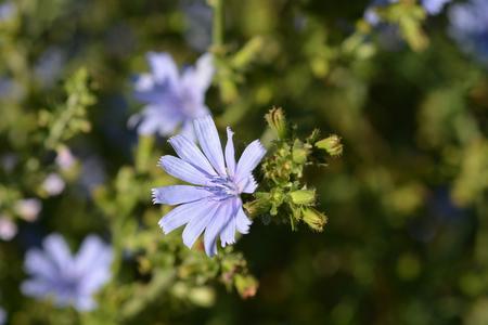 Wild chicory flower - Latin name - Cichorium intybus Stockfoto