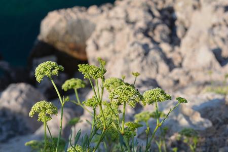 Sea fennel - Latin name - Crithmum maritimum